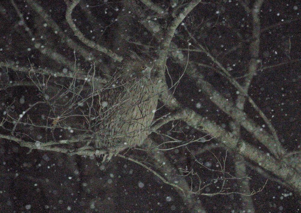 1M6A8069暗い木止まりシマフクロウ