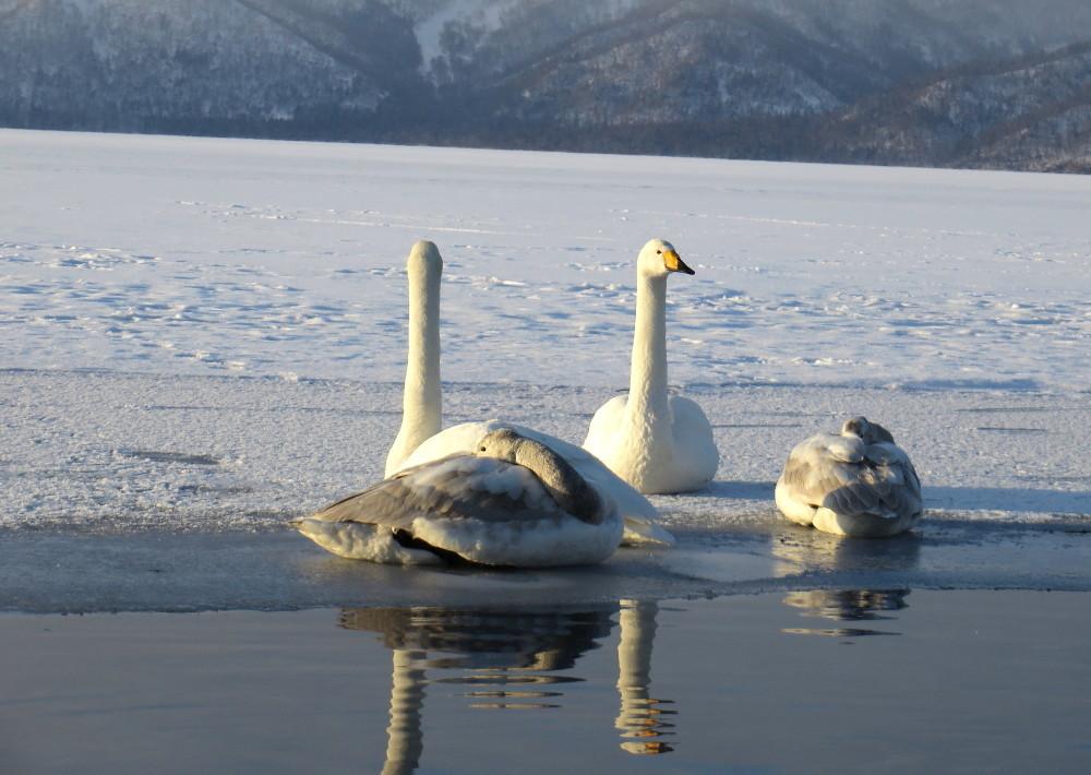 IMG_1971屈斜路湖と白鳥