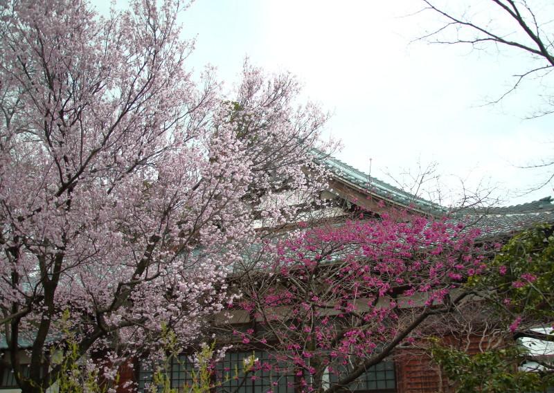 0N8A9368西林寺の桜