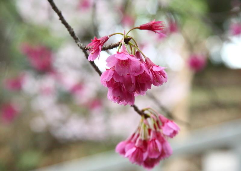 0N8A9399オカメ桜