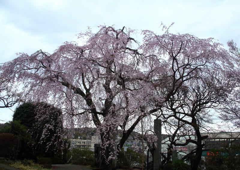 0N8A9401枝垂桜西林寺