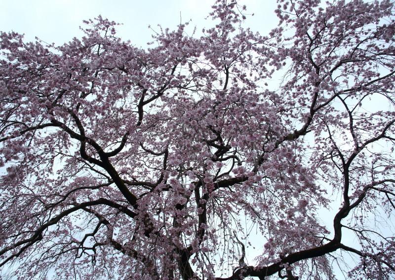 0N8A9407枝垂桜