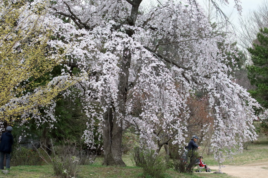 1M6A4712枝垂桜