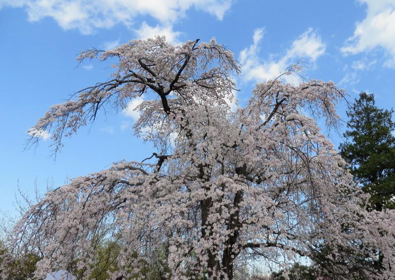 IMG_2155枝垂桜昭和記念公園