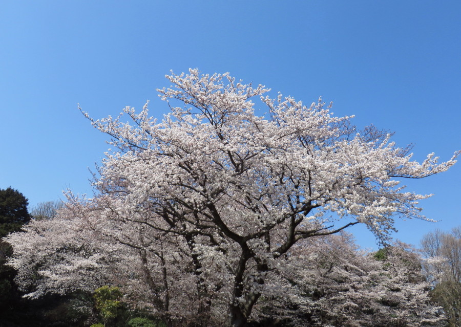 IMG_2206ソメイヨシノ緑ヶ丘