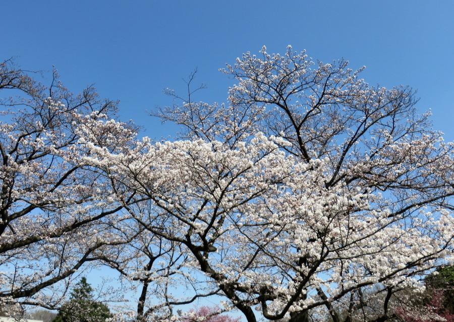 IMG_2208ソメイヨシノ緑ヶ丘