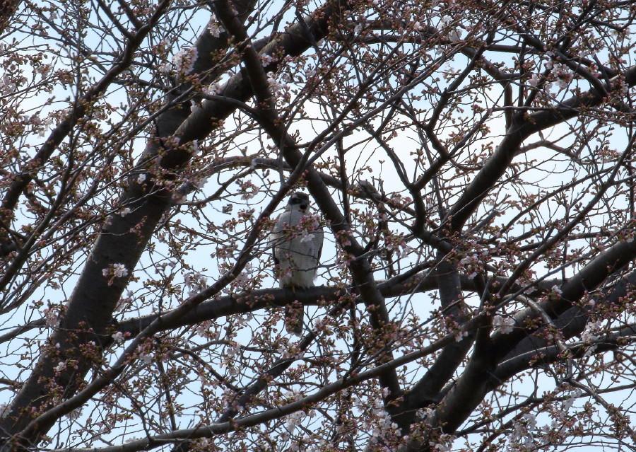 1M6A5007桜オオタカ