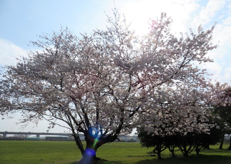 IMG_2235桜満開
