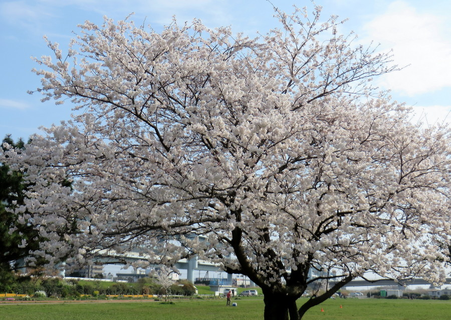 IMG_2231桜満開