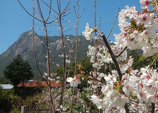 桜とモッチョム岳