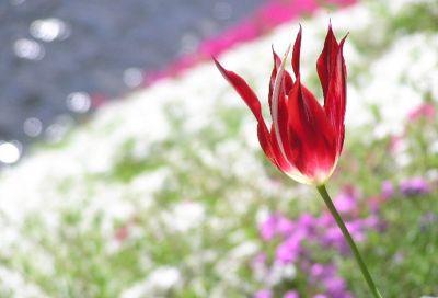 芝桜のイメージ