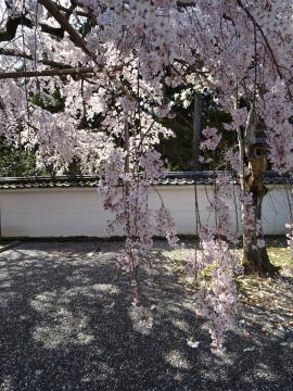 2018年3月28日撮影 醍醐寺三宝院の枝垂れ桜