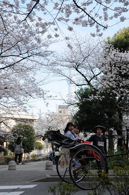 隅田桜3-1