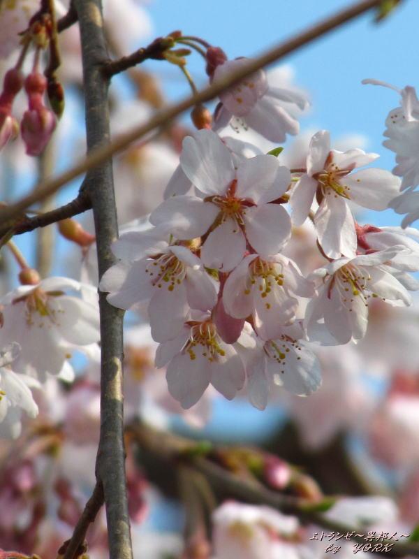 5803枝垂れ桜180325