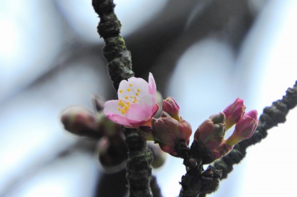 1薄紅寒桜18.02.19