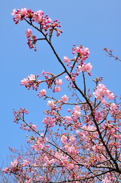6河津桜18.02.26