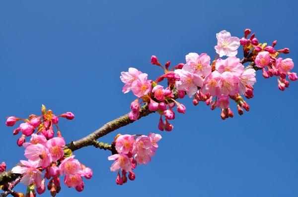 3河津桜18.02.26