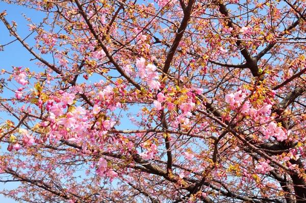 2河津桜18.02.26