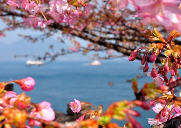 8河津桜18.02.26