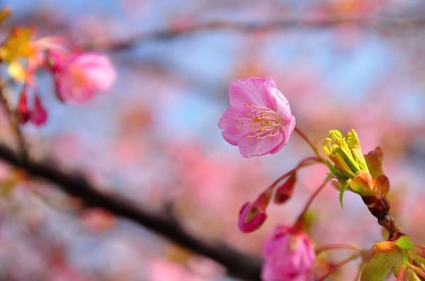 7河津桜18.02.26