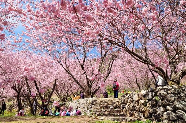 6雪割桜18.03.06