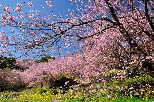 5雪割桜18.03.06