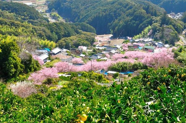 4雪割桜18.03.06