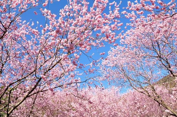 3雪割桜18.03.06