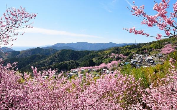 1雪割桜18.03.06