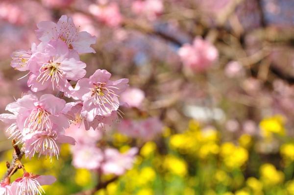 12雪割桜18.03.06