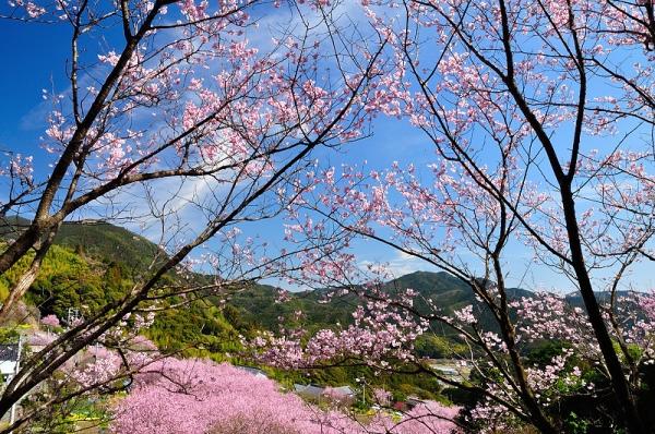 11雪割桜18.03.06