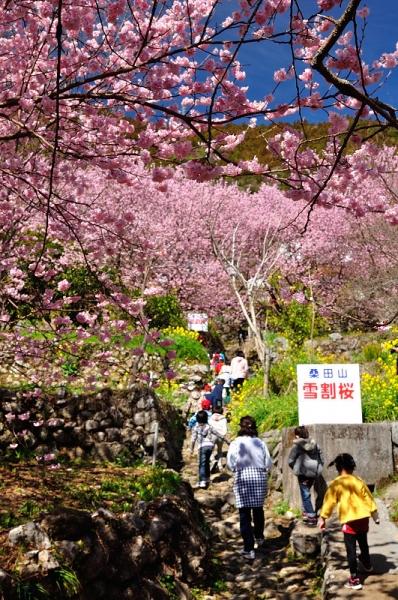 9雪割桜18.03.06
