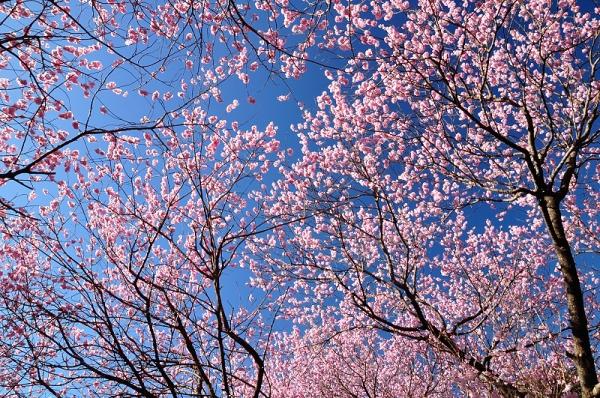 10雪割桜18.03.06