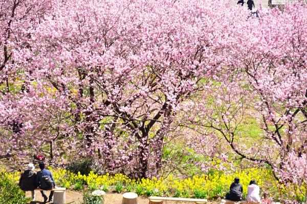 8雪割桜18.03.06