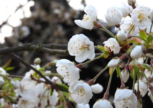 3うば桜180317