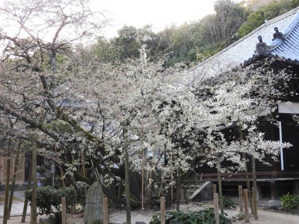 1うば桜180317