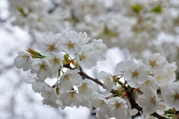 3うば桜180318
