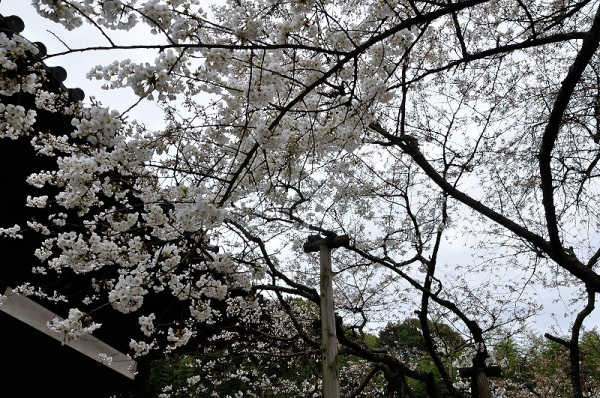 2うば桜180318