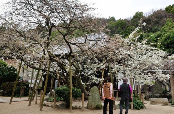 1うば桜180318