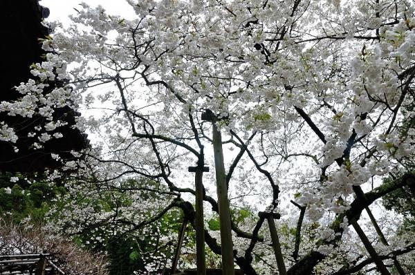 6うば桜180322