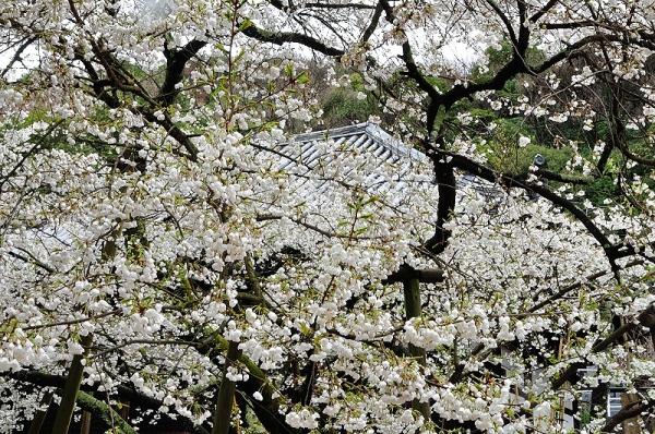 5うば桜180322