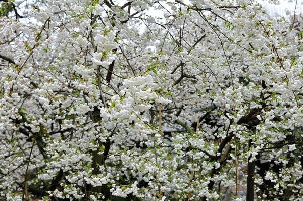3うば桜180322