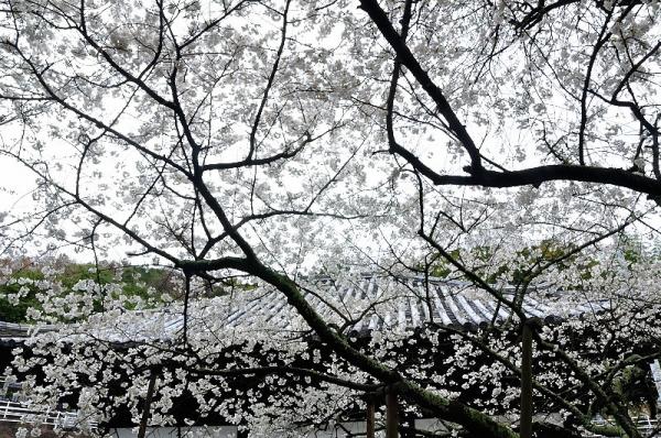2うば桜180322