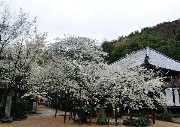 1うば桜180322