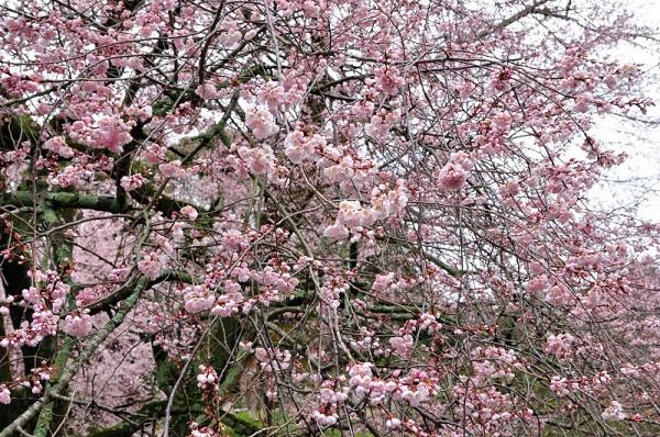 2金龍桜180322