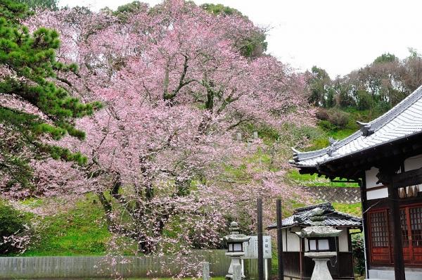 1金龍桜180322