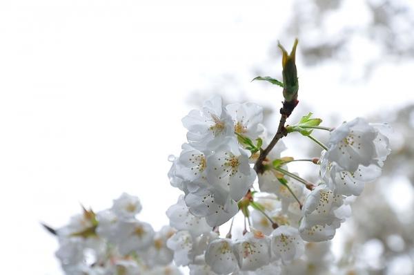8うば桜180322