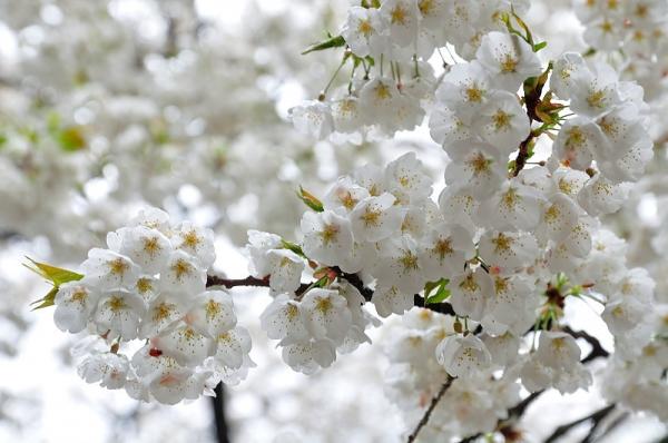 7うば桜180322