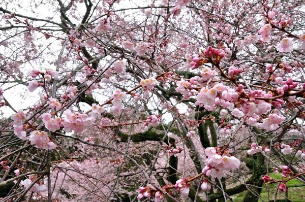 10金龍桜180322