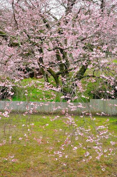 8金龍桜180322